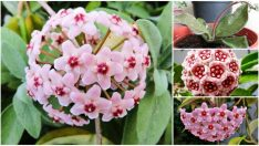 How to Make Candle Flower (Hoya Flower)?